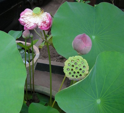 Lotus the strength of a symbol pha tad ke botanical garden the lotus seems to have first been considered as a symbol of fertility it is life fecundity because it is rooted in the water and grows towards the sun mightylinksfo